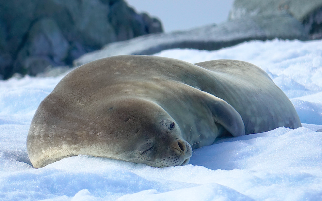 seal weddell snooze